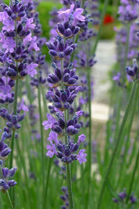 Lavender Buds- Ultra Blue Culinary Grade Lavender-bulk loose dried lavender - Lizzy Lane Farm Apothecary