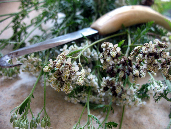 Yarrow- fresh dried - Lizzy Lane Farm Apothecary