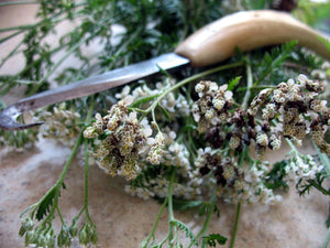fresh dried yarrow