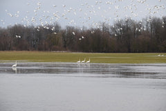 Trumpeter Swans at Wilderness Ranch
