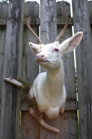 albino buck, seen on Oddities