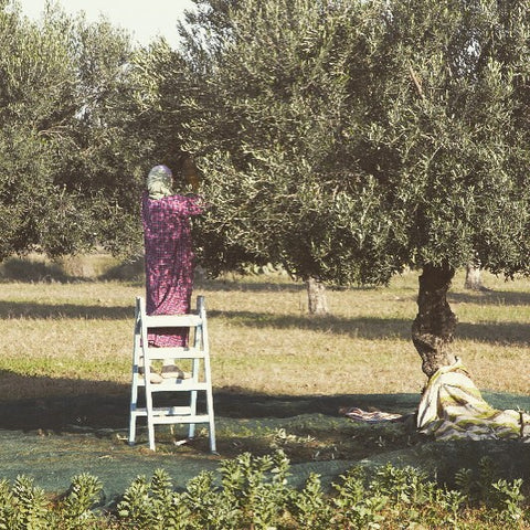 Tunisian woman hand picks the olives when harvest