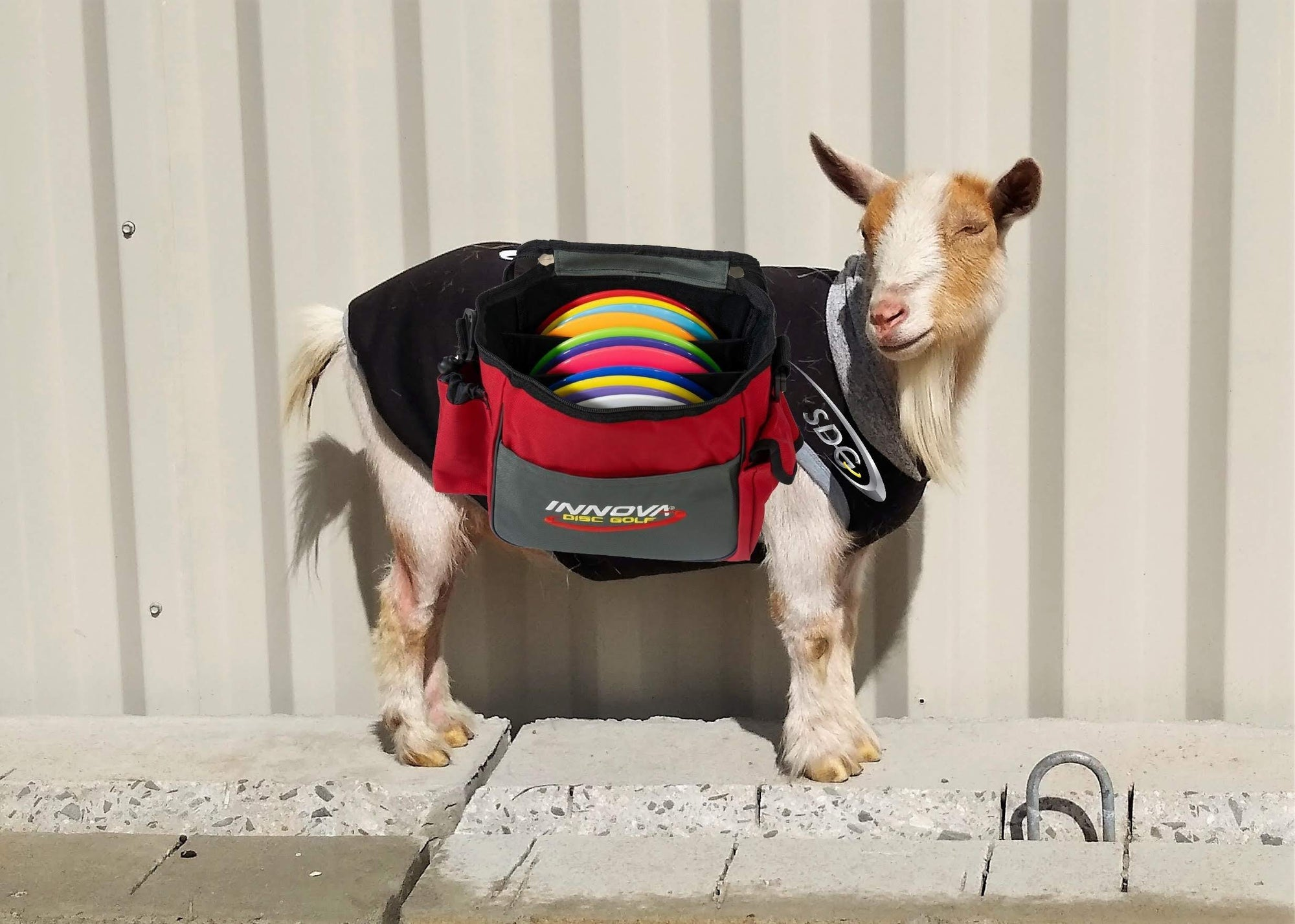 Birdie the goat caddying at sabattus disc golf