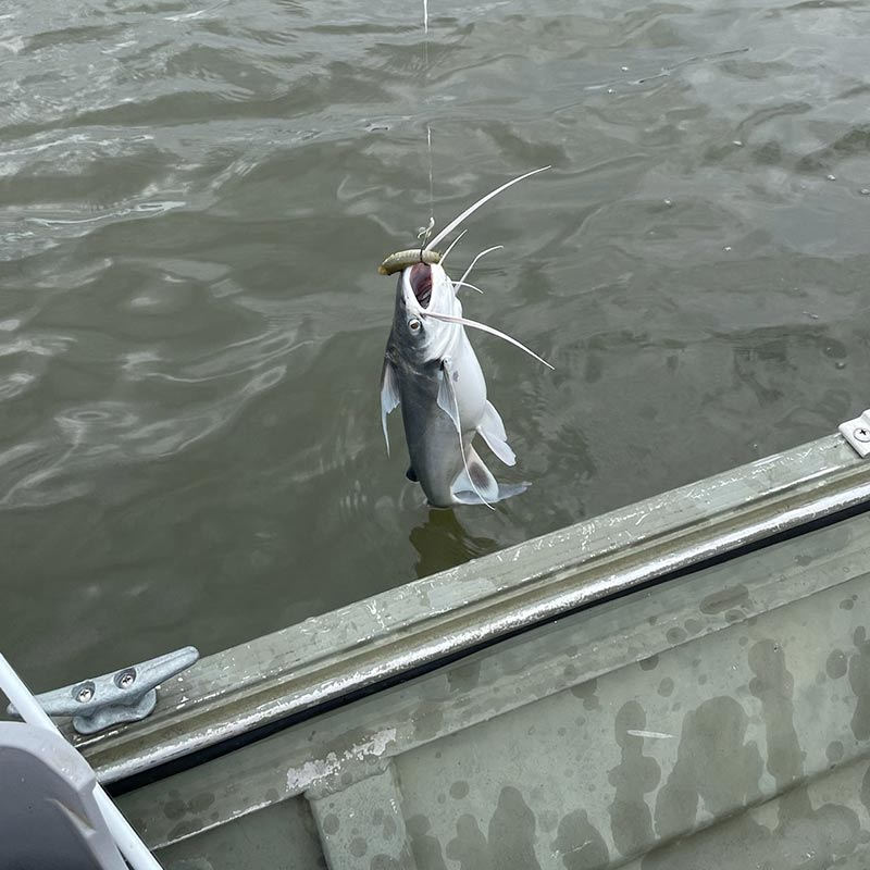 Who says saltwater catfish are gone?  After not catching one in 30 years, he caught two on two casts last week in Beaufort