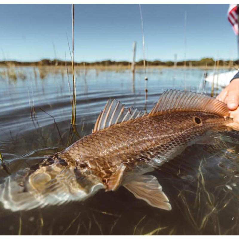 A nice redfish caught in the clear waters recently with Redfin Charters