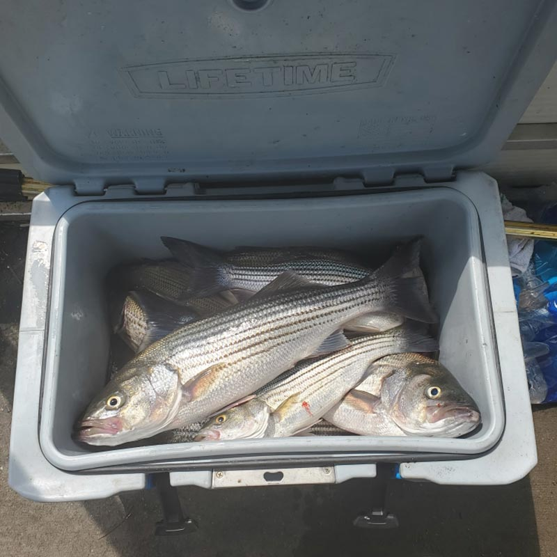A cooler of striper caught with Captain Chris Simpson this week