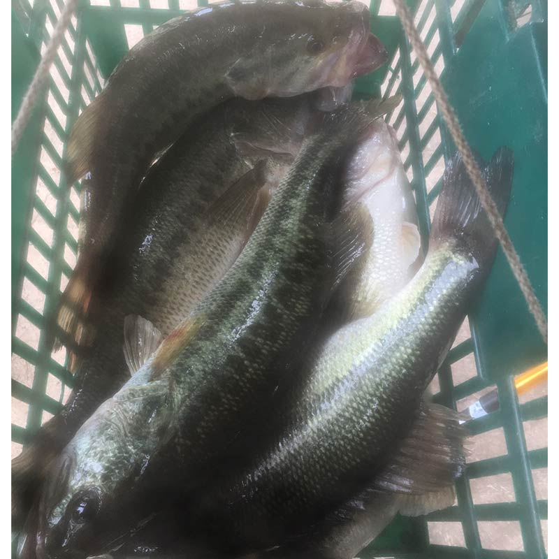 14+ pounds of live bass caught yesterday by Tyler Matthews