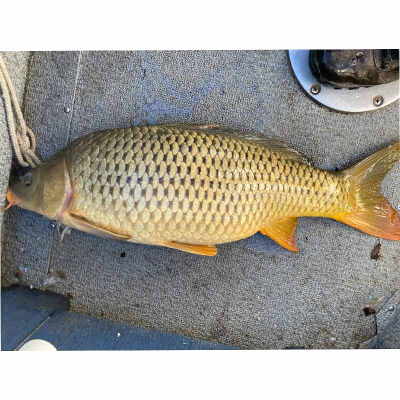 Captain Bill Plumley was surprised to catch this 14-pound carp while trying for bait