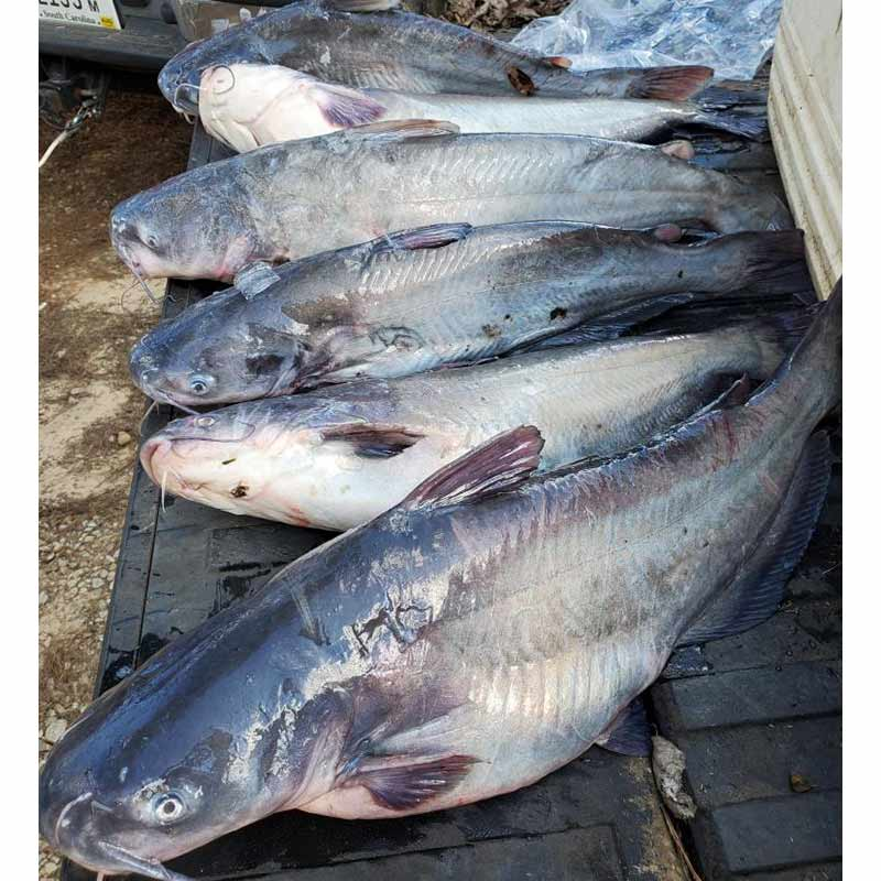 A mess of blue cats caught with Captain William Attaway