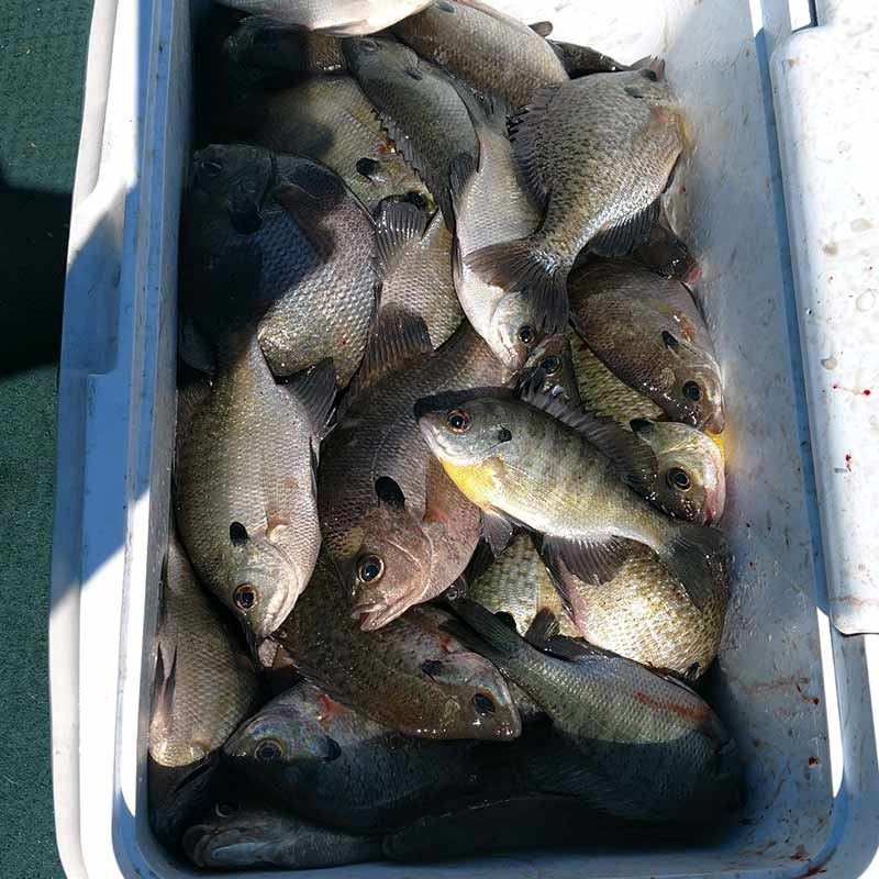 Captain Steve English offers proof that it's finally that time to catch big numbers of bream off brush