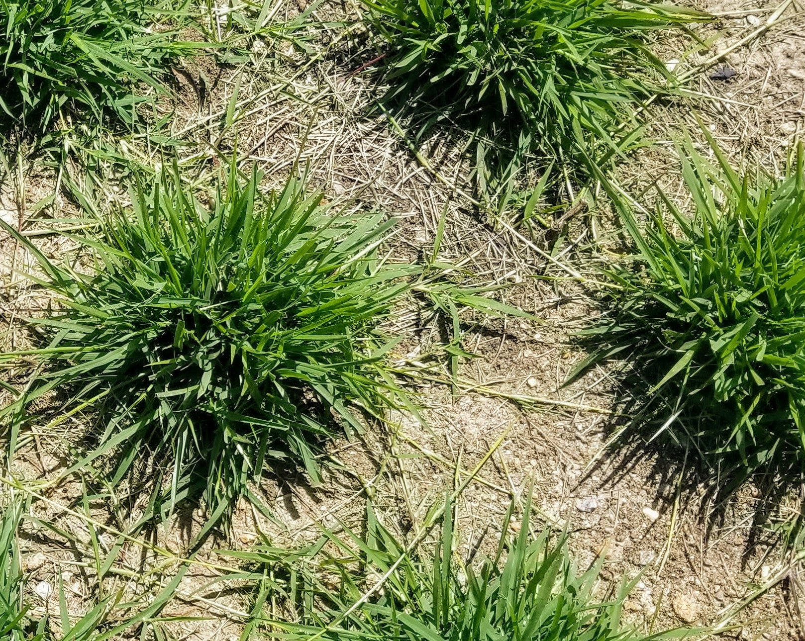 Help! I have weeds in my Zoysia