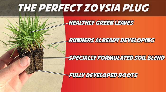 Perfect Zoysia Plugs