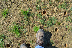 Step on Zoysia plugs to ensure good soil contact