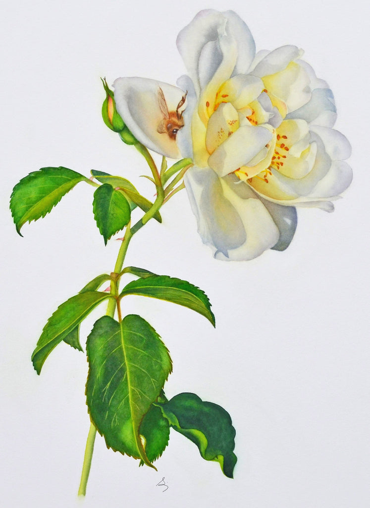 A White Rose In Summer watercolor by Susan Ringer