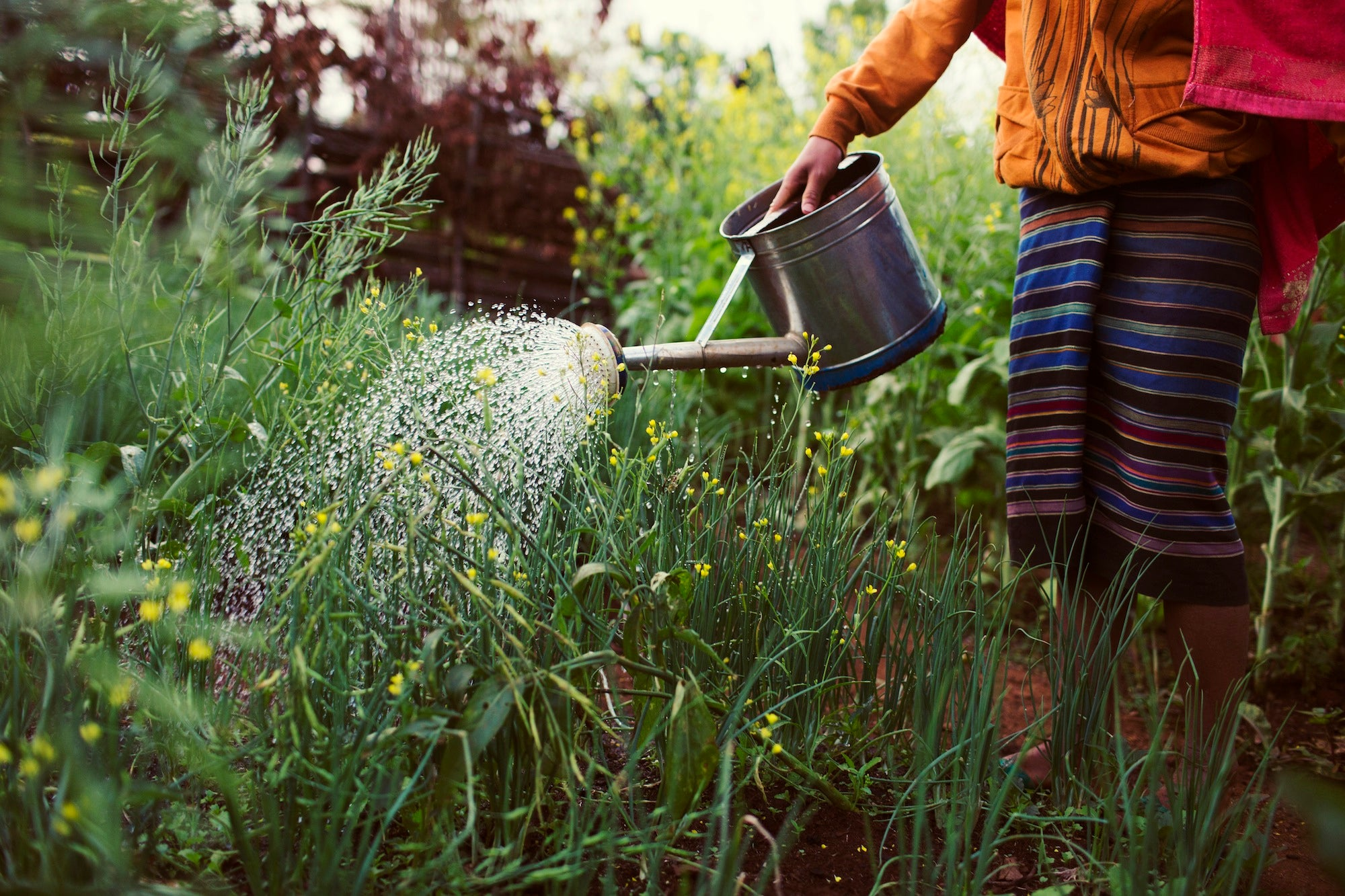 Watering a Vegetable Garden, Laos.