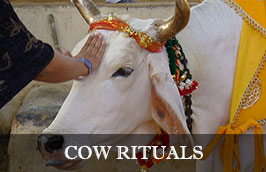 Rituals for Cows