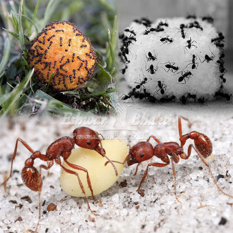 feed food to ants