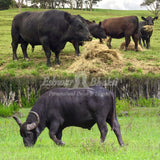 Feed food to buffalo