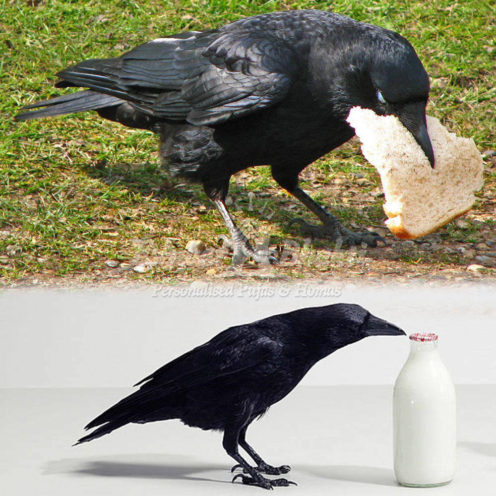 What to feed a crow and why is it necessary to know