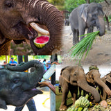 Feed food to an elephant