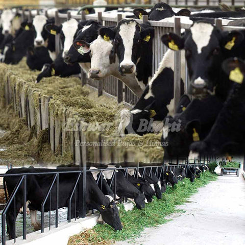 Feed green grass to cows