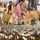 Gift 100 Cows - donate cows