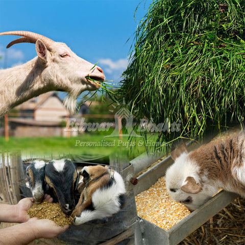Feed grass to a Goat