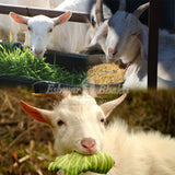 Feed food to goats