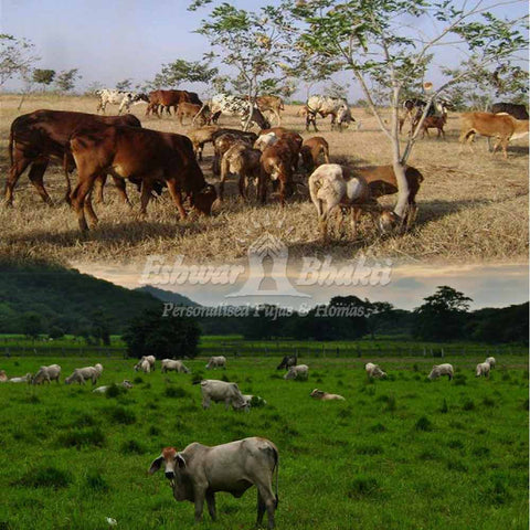 Donate Land for cow grazing