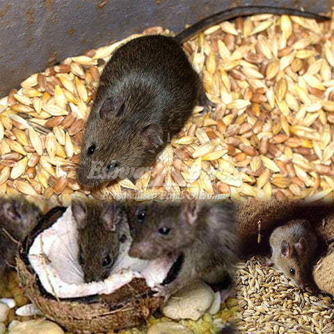 Feed food to Rats