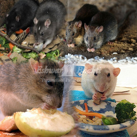 Feed grains to Rats
