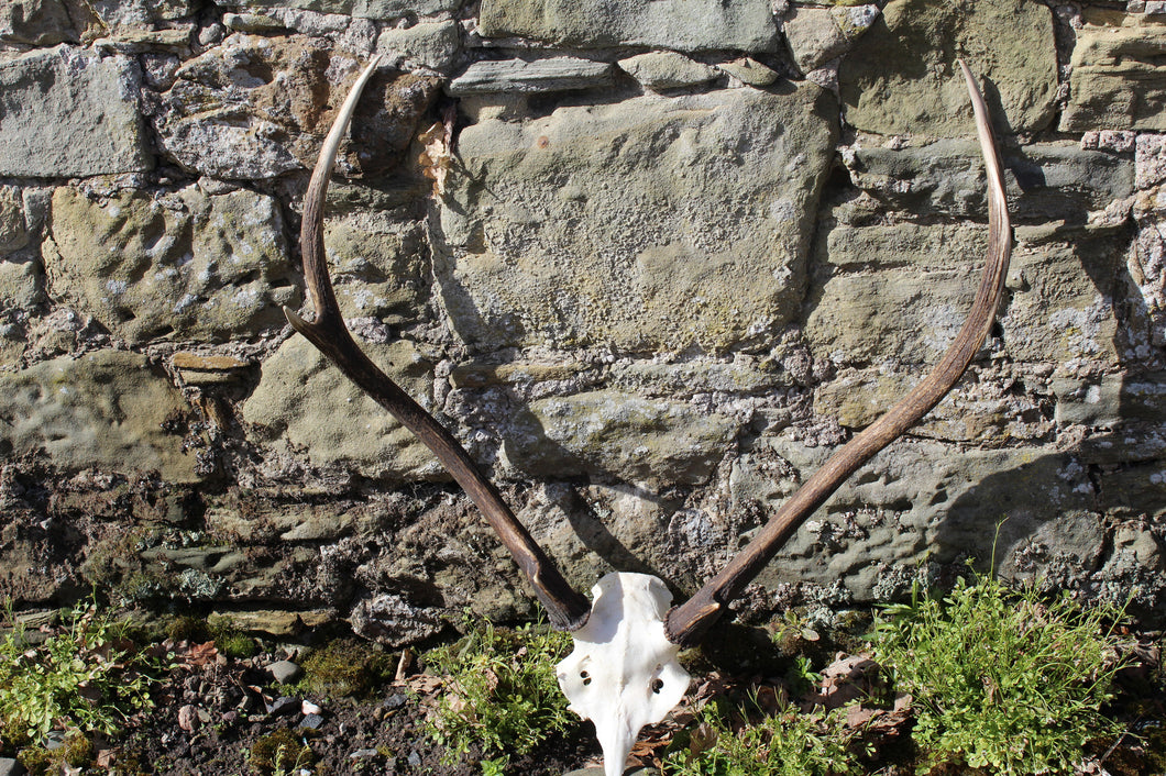 Red Deer Antler Set 5 - J Boult Designs