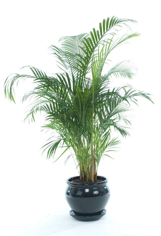 Areca Palm - PlantPeople