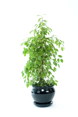 Ficus Golden King - PlantPeople