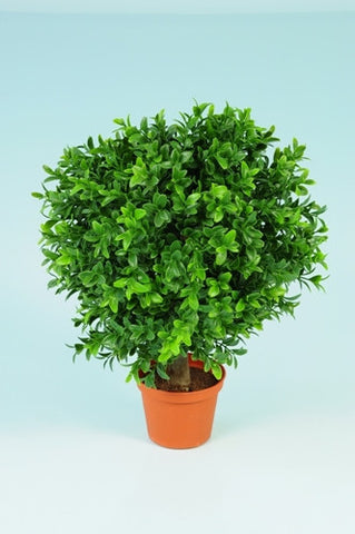 Boxwood Ball in Pot - PlantPeople
