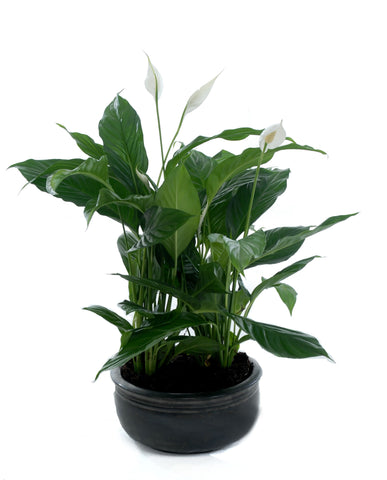 CB Peace Lilly - PlantPeople