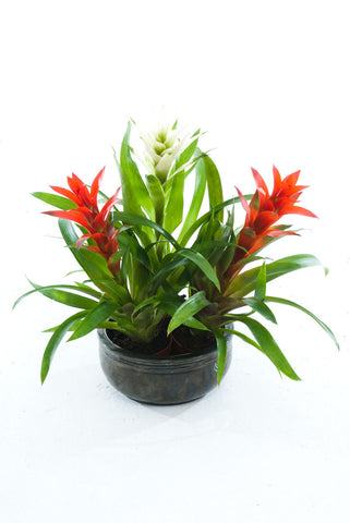 CB Red Guzmania - PlantPeople