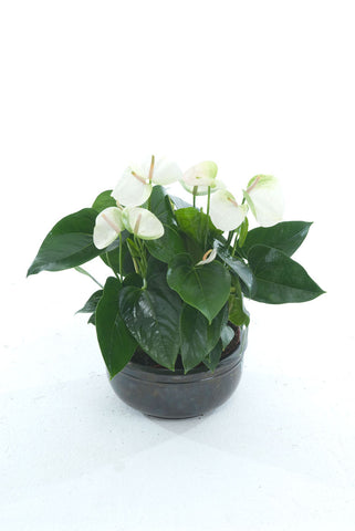 CB White Anthurium - PlantPeople