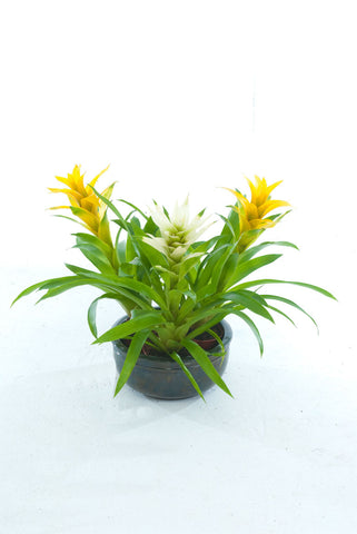CB Yellow Guzmania - PlantPeople