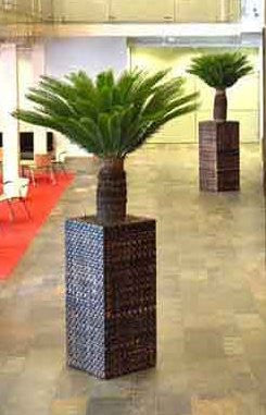 Cycad - PlantPeople