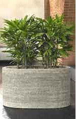 Dracaena fragrans - PlantPeople