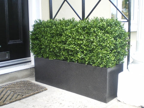 Boxwood Hedge - Medium - PlantPeople