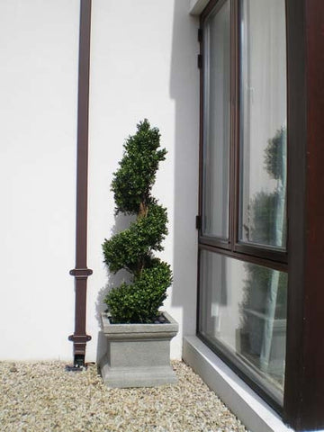Boxwood Spiral - PlantPeople