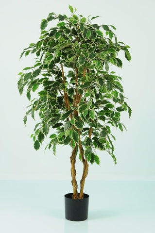 Ficus Varigated Tree - PlantPeople