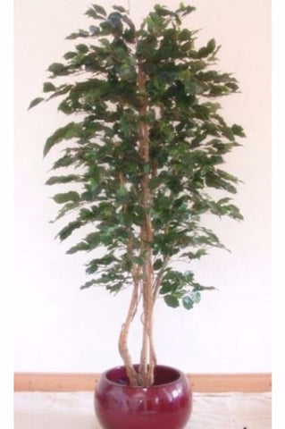 Ficus Tree - PlantPeople