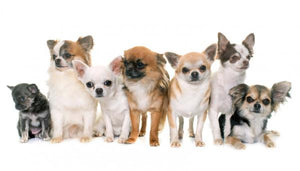 Some Miniature Dog Breeds We See Here at Ruffit