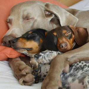 10 Of The Laziest Dog Breeds!