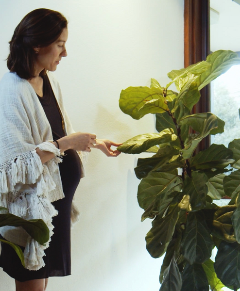 Plant Style at Home | Fiddle Leaf Fig Plant Care