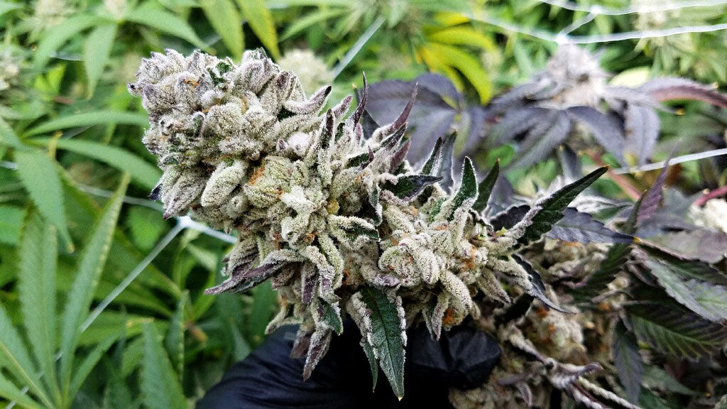 Gloved hand holding a cannabis flower