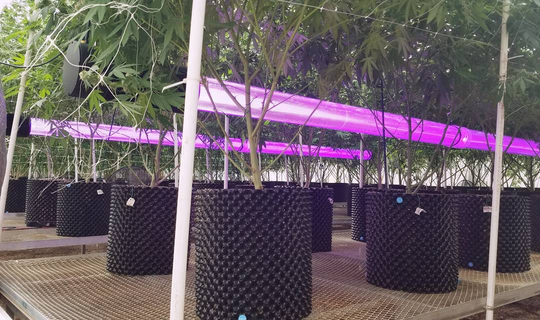 Lifted LED's Underpass in large-scale Cannabis grow room